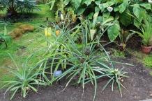 Pineapple-plant