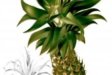 Illustration-of-Pineapple-fruit