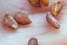 Seeds-of-Pineapple-fruit