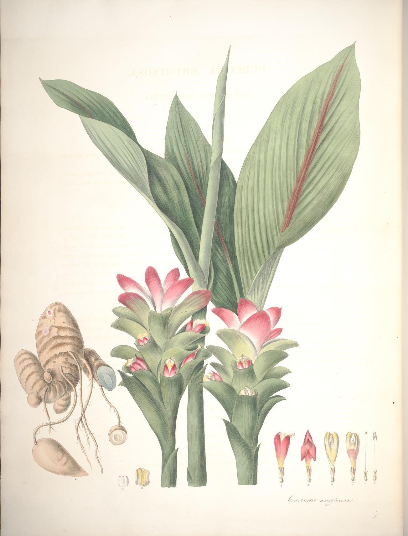 Pink-and-Blue-ginger-plant-illustration