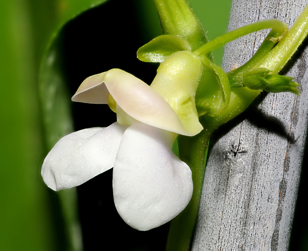 Close-up-flower-of-Pinto-beans