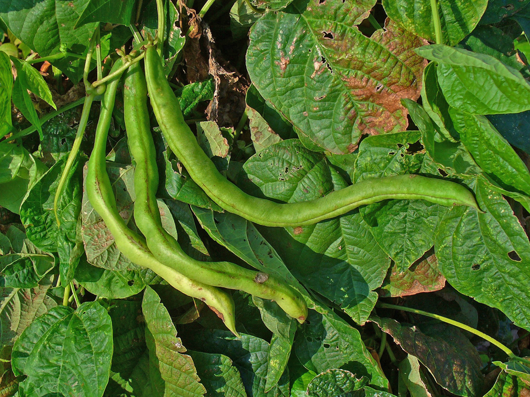 Pinto Beans Facts Health Benefits And Nutritional Value