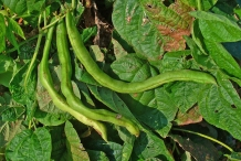 Green-pods-of-Pinto-beans