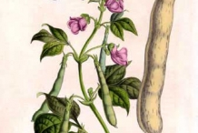 Plant-illustration-of-Pinto-benas