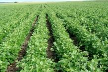 Farm-of-Pinto-beans