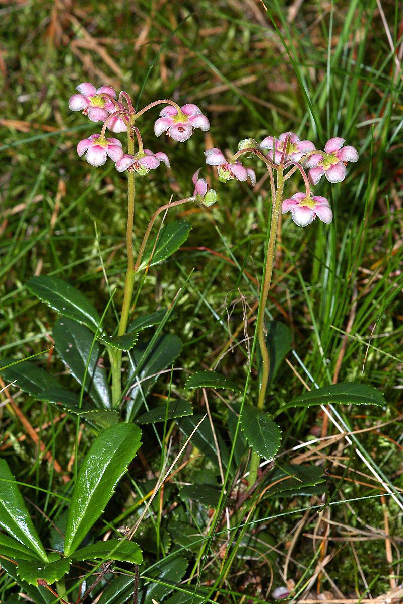 Pipsissewa-plant-growing-wild