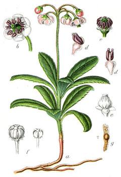 Plant-Illustration-of-Pipsissewa