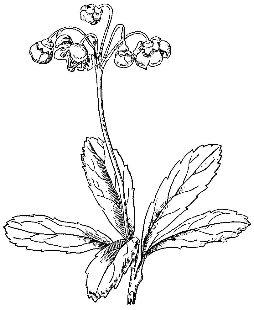 Sketch-of-Pipsissewa