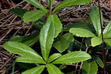 Leaves-of-Pipsissewa