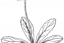 Sketch-of-Pipsissewa