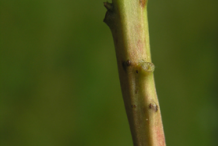 Stem-of-Pipsissewa