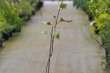 Pistachio-plant