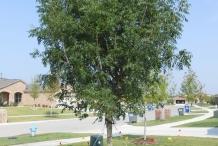 Pistachio-tree