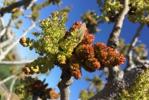 Pistachio-flower