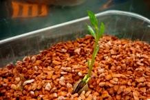 Pistachio-sprouts