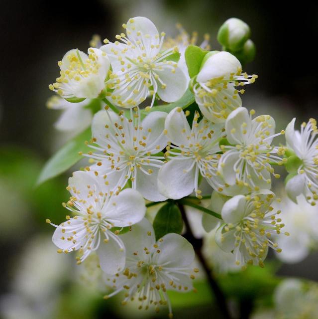 Pitanga-close-up-flowers