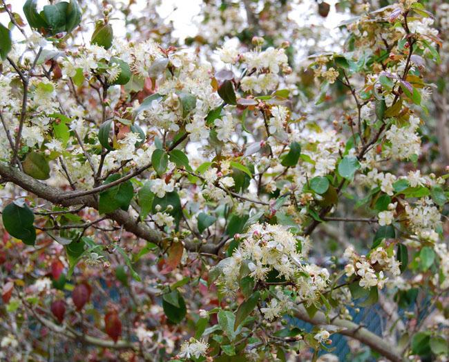 Pitanga-foliage-and-flowers