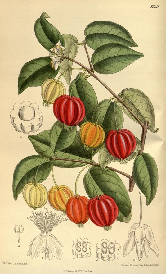 Pitanga-plant-illustration