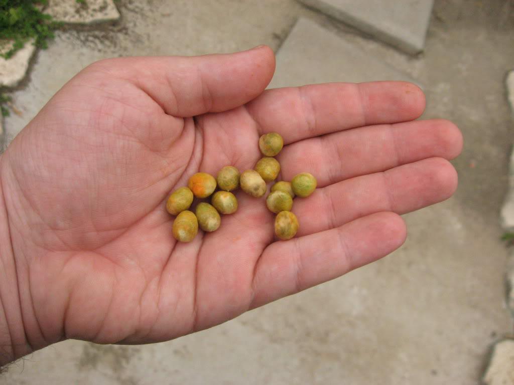 Pitanga-seeds