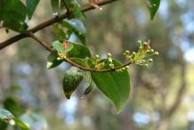 Pitanga-flower-buds