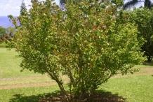 Pitanga-tree