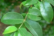 Pitanga-leaves