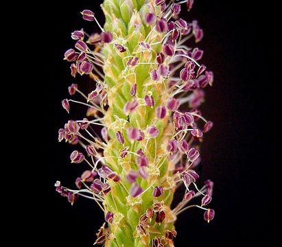 Plantain-flower