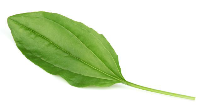 Plantain-leaves