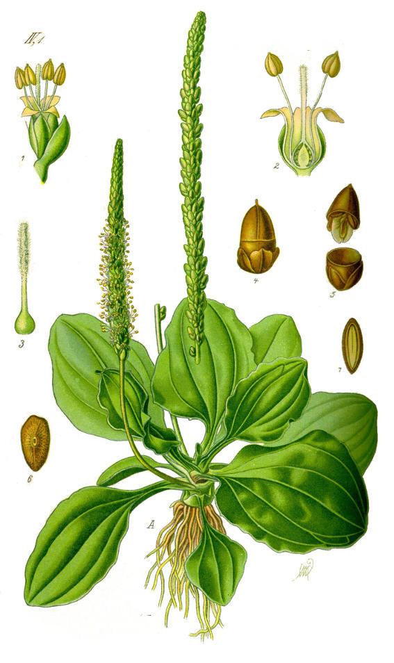 Plantain-plant-Illustration