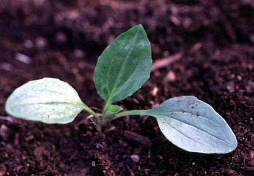 Small Plantain Plant