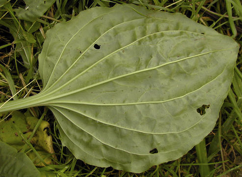 Ventral-view-of-Plantain-leaf