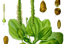 Plantain-plant-Illustration