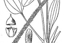 Sketch-of-Plantain-herb