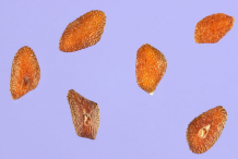 Plantain-seeds