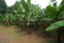 Plantain-farm