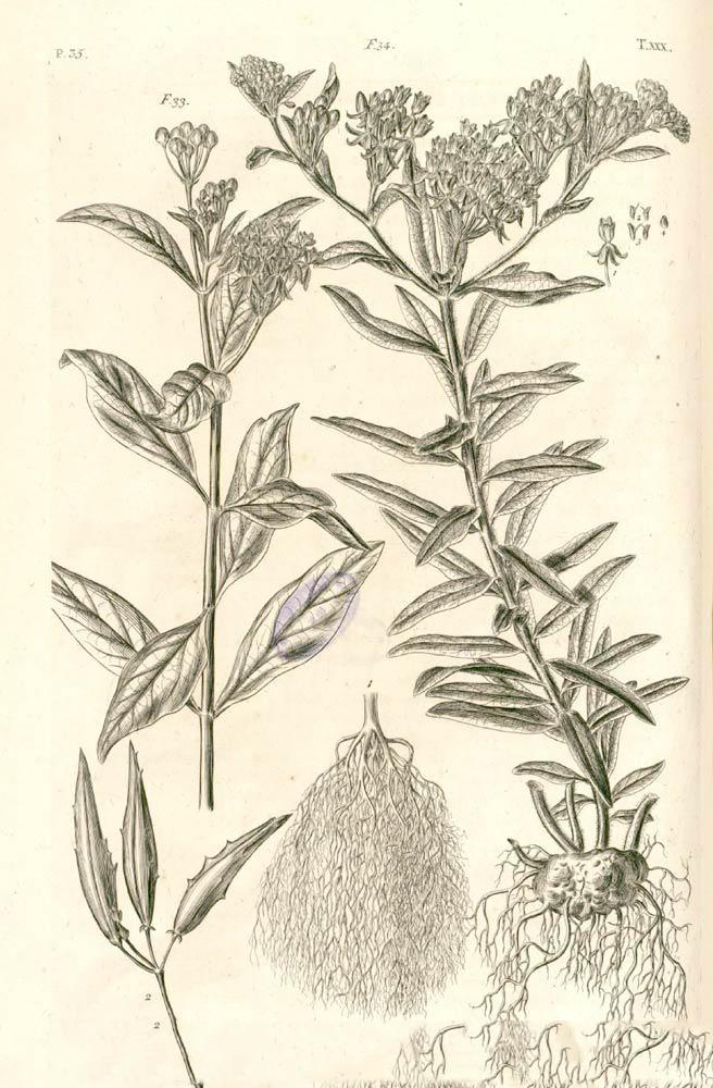 Pleurisy-a-bit-of-botany