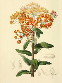 Pleurisy-plant-Illustration