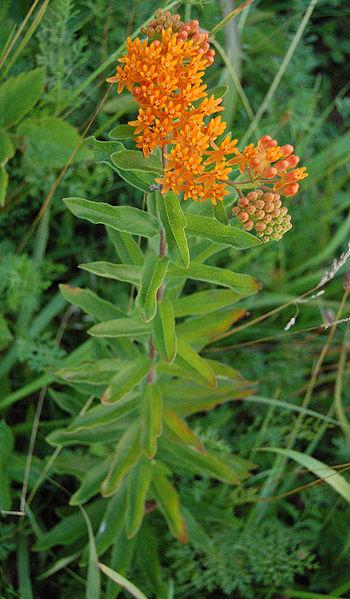 Whole-Pleurisy-plant