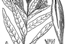 Sketch-of-Pleurisy-plant