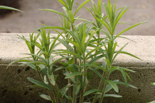 Small-Pleurisy-plant