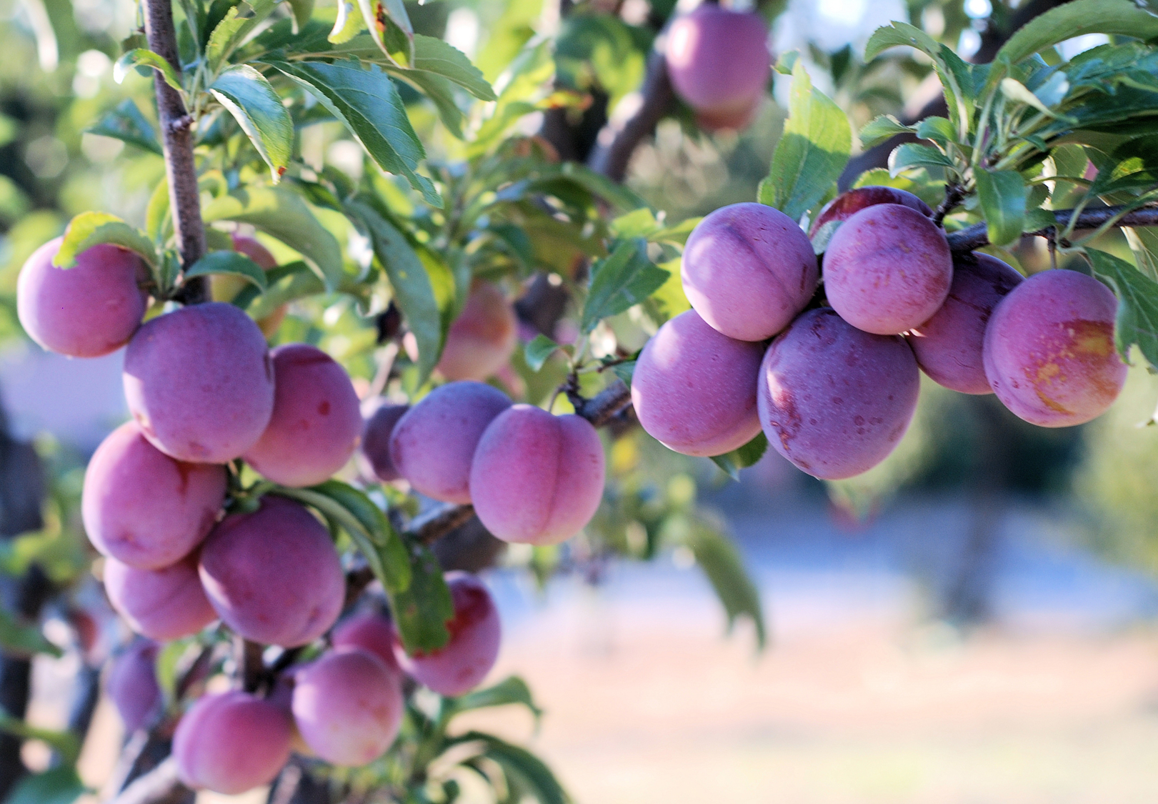 Colon-shaped plums: planting and care. Pruning of a column-shaped plum