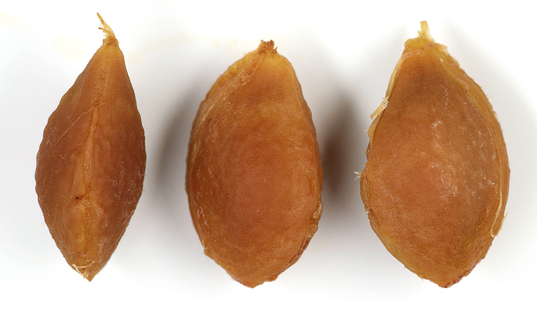 Plum seeds
