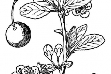 Drawing of Plum plant