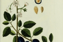 Illustration of Plum Plant