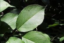 Leaves of Plum
