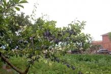 Plum fruit in the tree