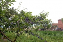 Plum fruit in the tree