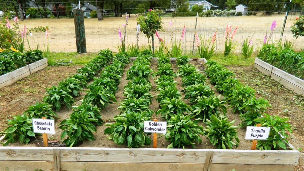 Poblano-pepper-farm