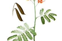 Illustration-of-Poinciana