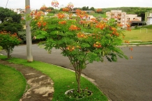 Poinciana-tree
